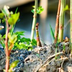Farrer & Co | Japanese Knotweed - a knotty problem