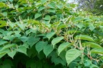 Farrer & Co | The threat of Japanese knotweed continues to grow