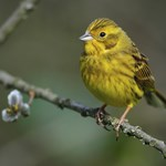 Farrer & Co | Yellowhammer: What has a small yellow songbird got to do with employment law?